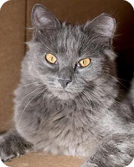 Maine Coon Cat for adoption in Herndon, Virginia - Adam