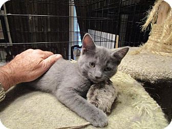 Domestic Shorthair Kitten for adoption in St. Louis, Missouri - Bitsy (Russian Blue Mix)