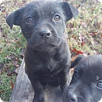 Adopt A Pet :: Inca - North Hampton, NH