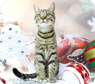 Domestic Shorthair Cat for adoption in Harrisonburg, Virginia - Honey Pie