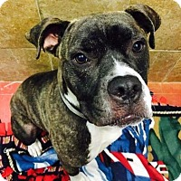 Boxer Dog for adoption in Mission, Kansas - Malachy