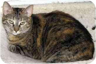 Polydactyl/Hemingway Cat for adoption in Sheboygan, Wisconsin - Nicki