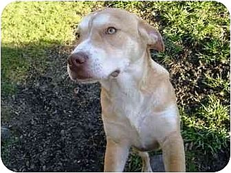American Pit Bull Terrier/Husky Mix Dog for adoption in Wylie, Texas - Nitro