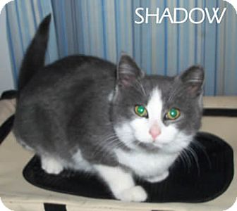 Domestic Shorthair Cat for adoption in Olmsted Falls, Ohio - Shadow