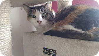 Domestic Shorthair Cat for adoption in Colorado Springs, Colorado - Samantha