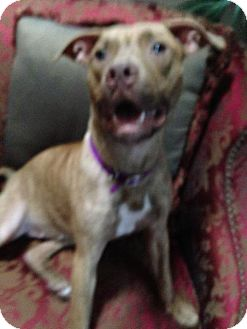 American Pit Bull Terrier/Pit Bull Terrier Mix Dog for adoption in Tampa, Florida - Bella