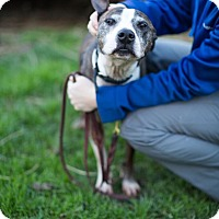 Adopt A Pet :: Clipper - Reisterstown, MD