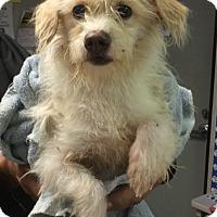 Adopt A Pet :: Frankie Girl - San Francisco, CA