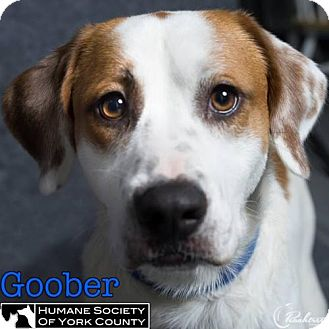 Pointer Mix Dog for adoption in Fort Mill, South Carolina - Goober