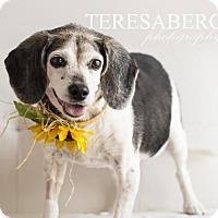 Adopt A Pet :: Shelby - McKinney, TX