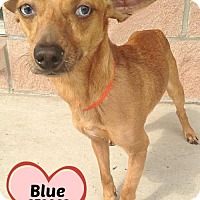 Adopt A Pet :: 378863 Blue - San Antonio, TX