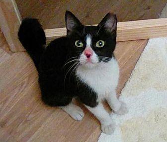 Domestic Mediumhair Cat for adoption in San Antonio, Texas - Rose