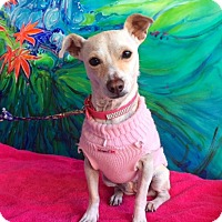 Terrier (Unknown Type, Small) Mix Dog for adoption in pasadena, California - JOSSIE