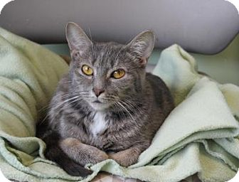 Domestic Shorthair Cat for adoption in Indianapolis, Indiana - Fina