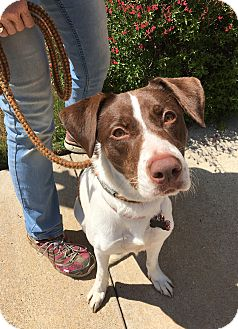 Pointer Mix Dog for adoption in Van Alstyne, Texas - Sallie