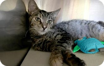 Domestic Shorthair Kitten for adoption in Voorhees, New Jersey - Magenta