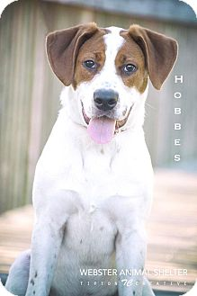 Harrier Mix Puppy for adoption in Webster, Texas - Hobbes