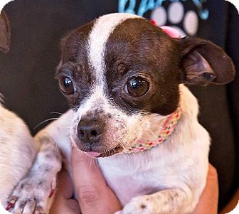 Chihuahua Mix Dog for adoption in Concord, California - Jill