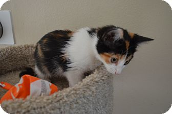 Domestic Shorthair Kitten for adoption in Statesville, North Carolina - Lilly