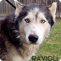Adopt A Pet :: Ravioli--Coming soon! - Carrollton, TX