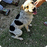 Adopt A Pet :: Hachi - Hammond, LA
