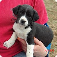 Australian Shepherd/Border Collie Mix Puppy for adoption in Burlington, Vermont - Finley (3.5 lb) Video!