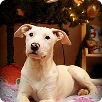 Boxer Mix Puppy for adoption in Plainfield, Connecticut - Snow