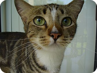 Domestic Shorthair Cat for adoption in Lighthouse Point, Florida - Snuglette