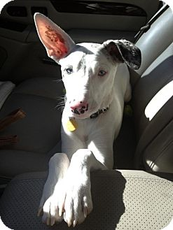 Dalmatian/Whippet Mix Dog for adoption in Scottsdale, Arizona - Frankie
