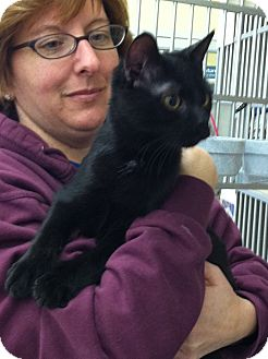 Domestic Shorthair Cat for adoption in Riverhead, New York - Raven