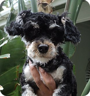 Maltese/Poodle (Toy or Tea Cup) Mix Dog for adoption in Studio City, California - Loilta