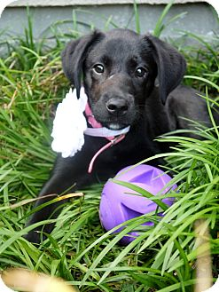 Labrador Retriever Puppy for adoption in Baton Rouge, Louisiana - KeKe