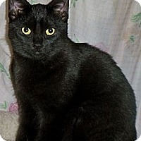 Domestic Shorthair Cat for adoption in Rochester, New York - Black Velvet