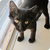 Adopt A Pet :: Inkblot - Chicago, IL