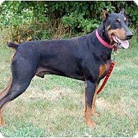 Adopt A Pet :: Blazer - Kansas City, MO