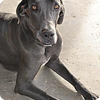 Adopt A Pet :: Reign - Mesa, AZ