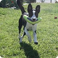 Adopt A Pet :: Nova - Henderson, NV