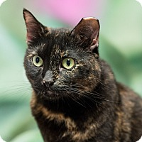 Domestic Shorthair Cat for adoption in Houston, Texas - Bianca