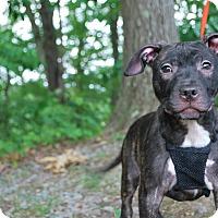 Adopt A Pet :: Nova - New Castle, PA