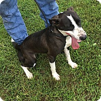 Terrier (Unknown Type, Medium)/Pit Bull Terrier Mix Dog for adoption in Loogootee, Indiana - Molly