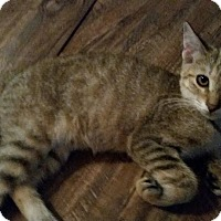 Domestic Shorthair Kitten for adoption in Ocala, Florida - Red Angry bird