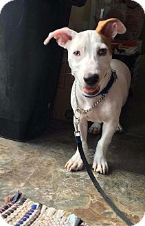 Jack Russell Terrier Mix Dog for adoption in Tucson, Arizona - Lonnie