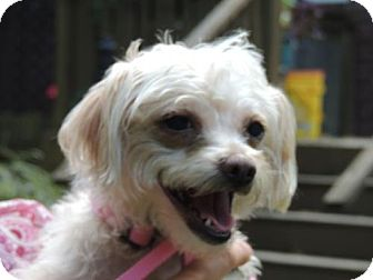 Maltese Mix Dog for adoption in Franklin, Tennessee - BELLA