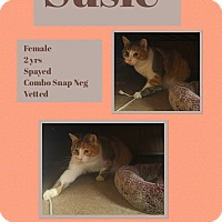 Domestic Shorthair Cat for adoption in CLEVELAND, Ohio - Susie