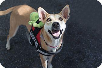 Jindo/Shiba Inu Mix Dog for adoption in Washington, D.C. - Asha