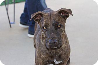 Labrador Retriever/Pit Bull Terrier Mix Dog for adoption in Chula Vista, California - Cinder