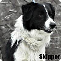 Adopt A Pet :: Skipper - Yreka, CA