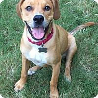 Labrador Retriever Mix Dog for adoption in Alpharetta, Georgia - Buzzy