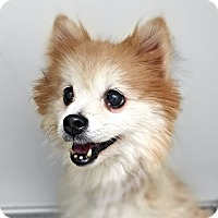 Pomeranian Dog for adoption in New York, New York - Sasha!