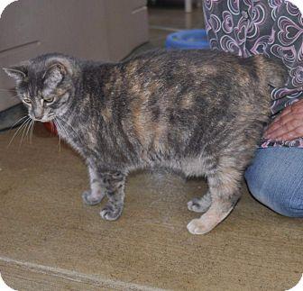 Domestic Shorthair Cat for adoption in Sunrise Beach, Missouri - Katarine